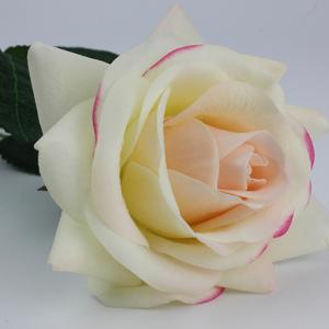роза чайная молочная
