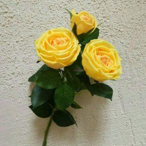 роза пионовидная 2+1 шампань